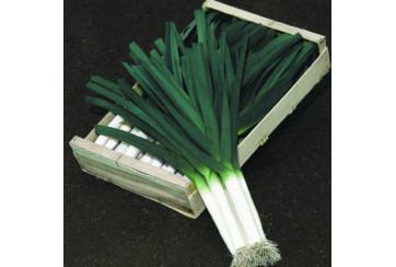 Poireau – semis en bande