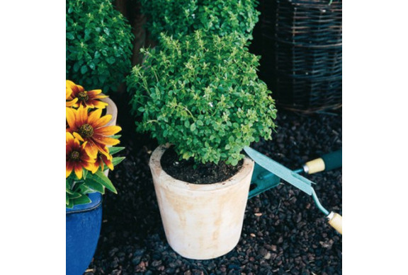 Basilic fin vert et pistou